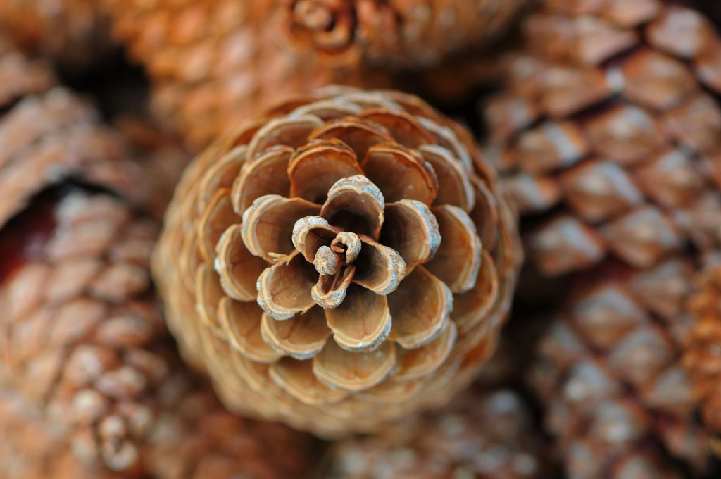A pine cone showing off its Fibonacci sequence, related to the golden ratio
