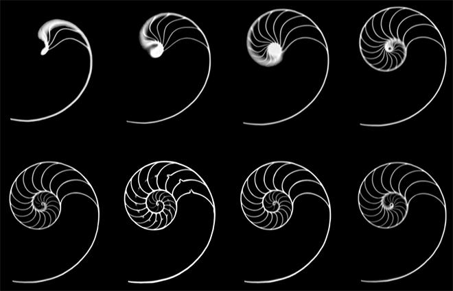 Cross sections of a nautilus shell. Some sections show stronger golden ratio proportions than others.